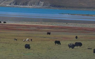 Wonderful- yaks most precious treasure is their manure